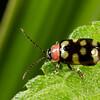 flea beetle, <i>Oedioychus</i> sp.  (Chrysomelidae). Gareno Amazon, Napo Ecuador
