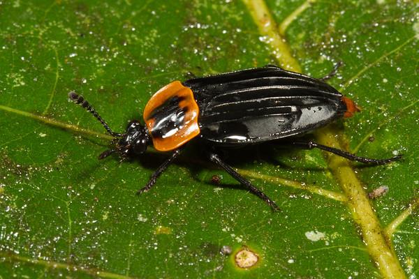 carrion beetle, Oxelytrum erythrurum (Silphidae). Yanayacu, Cosanga, Napo Ecuador