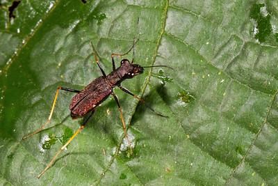 tiger beetle (Cicindelidae). Jatun Sacha Estacion Biologica, Napo Ecuador