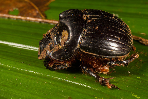 dung beetle covered in mites with a tick also covered in mites. (Scarabaeidae). Bates trail, Shiripuno, Orellana Ecuador