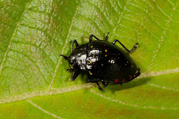 pleasing fungus beetle, Erotylus sp. (Erotylidae). Gareno Amazon, Napo Ecuador