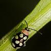 flea beetle, <i>Oedioychus</i> sp. (Chrysomelidae). Mindo, Pichincha, Ecuador