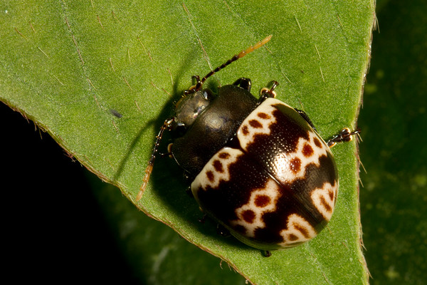 pleasing fungus beetle (Erotylidae). Gareno Amazon, Napo Ecuador