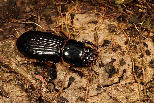 bess beetle, (Passalidae). Cosanga, Napo, Ecuador