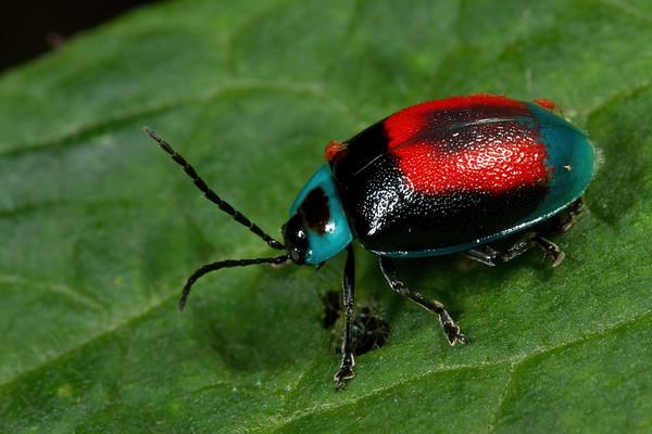 leaf beetle with red mites,  Aspicela bourcieri (Chrysomelidae). Mindo, Pichincha Ecuador