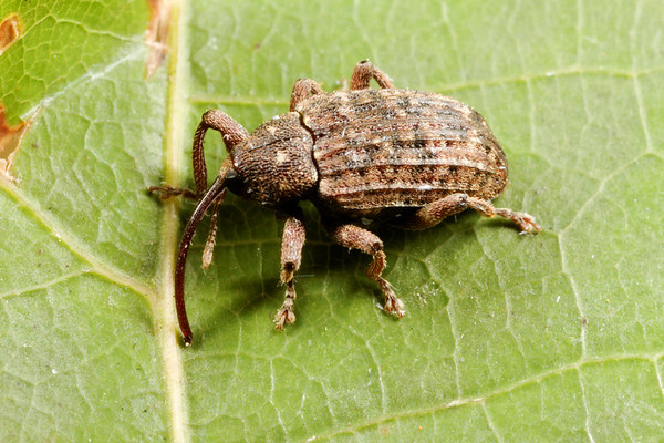 weevil (Curculionidae). Spartanburg, South Carolina USA