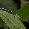 Coenagrionidae, Argia sp.