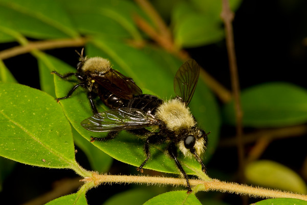 mating bee mimic robber flies, Laphria sp. (Asilidae). Anderson Mill, North Tyger River, Spartanburg, South Carolina USA