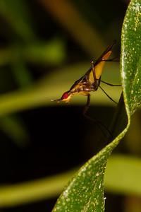 Glyphidops sp. (Neridae). Yanayacu San Isidro Stream Trail, Cosanga, Napo Ecuador