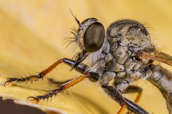robber fly (Asilidae). Tucson, Arizona USA