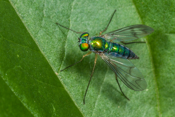 long-legged fly (Dolicopodidae). Anderson Mill, North Tyger River, Spartanburg, South Carolina USA