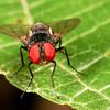 fly (Diptera). Mindo, Pichincha Ecuador