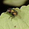 green blow fly (Calliphoridae). Mendoza Canyon, Arizona USA