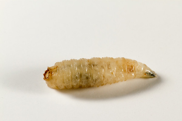 maggot, blow fly larva (Calliphoridae) from wound in dog. Tucson, Pima Co., Arizona USA