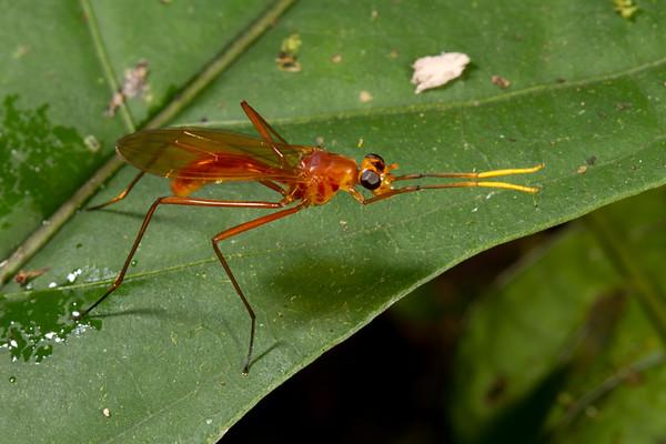 stilt-legged fly (Micropezidae). Yanayacu San Isidro Stream Trail, Cosanga, Napo Ecuador
