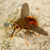 parasitic fly (Tachinidae). Yanayacu, Cosanga, Napo Ecuador