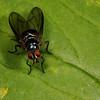 fly (Diptera). Cosanga, Napo Ecuador