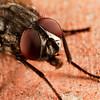house fly, <i>Musca domestica</i> (Muscidae). Tucson, Arizona USA