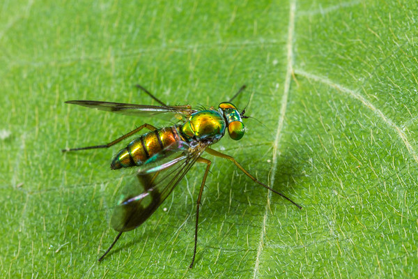 long-legged fly (Dolicopodidae). Palmetto Trail along Kelsey Creek, Croft State Park, Spartanburg, South Carolina USA