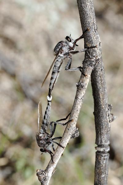 mating robber flies (Asilidae). King Anvil Ranch, Pima Co., Arizona USA