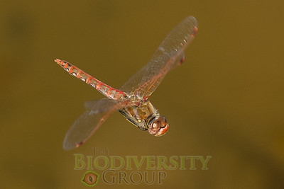 Dragonflies (Anisoptera)