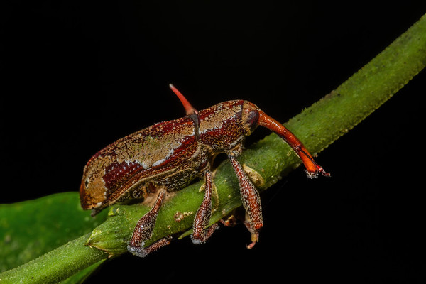 entomophagus fungus on a weevil. Gareno Amazon, Napo Ecuador