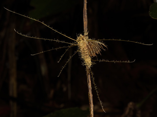 entomophagous fungus on moth (Lepidoptera). EO Wilson trail, Shiripuno, Orellana Ecuador
