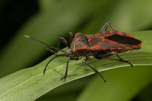 adult scentless plant bug (Rhopalidae). Yanayacu San Isidro Stream Trail, Cosanga, Napo Ecuador