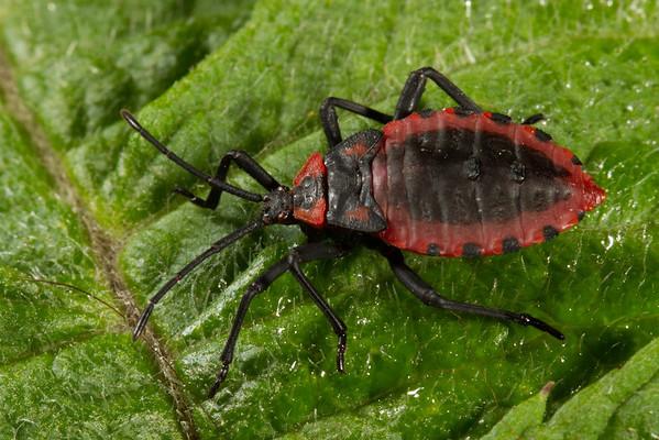 late instar nymph scentless plant bug (Rhopalidae). Yanayacu San Isidro Stream Trail, Cosanga, Napo Ecuador