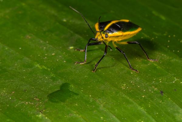 (Pentatomidae). EO Wilson trail, Shiripuno, Orellana Ecuador