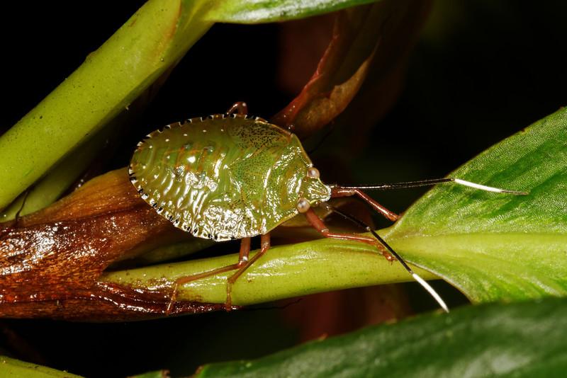 stink bug nymph (Pentatomidae). Gareno Amazon, Napo, Ecuador