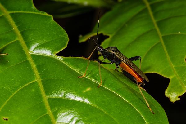 (Coreidae). Bates trail, Shiripuno, Orellana Ecuador