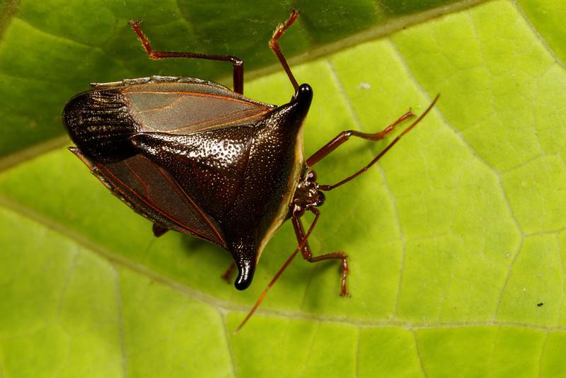 stink bug (Pentatomidae). Mindo, Pichincha, Ecuador