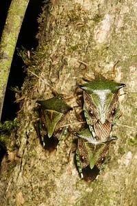stink bug (Pentatomidae). Gareno Amazon, Napo, Ecuador