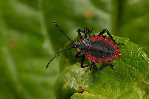 early instar nymph scentless plant bug (Rhopalidae). Yanayacu San Isidro Stream Trail, Cosanga, Napo Ecuador