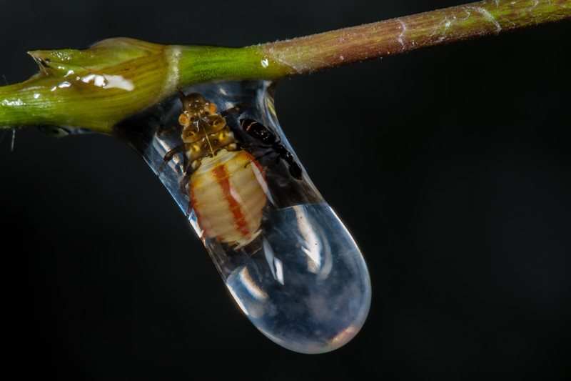 spittle bug (Cercopidae) with hymenopteran caught in drop. Cosango, Napo Ecuador