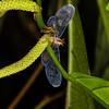 (Derbidae). EO Wilson trail, Shiripuno, Orellana Ecuador
