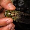 large cicada (Cicadidae). Bates trail, Shiripuno, Orellana Ecuador
