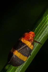 spittle bug (Cercopide). Gareno Amazon, Napo Ecuador
