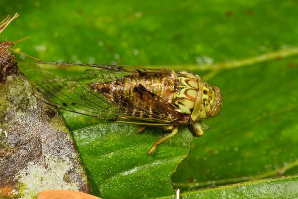 cicada (Cicadidae). Yanayacu, Cosanga, Napo Ecuador