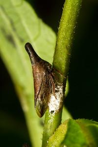 treehopper (Membracidae). Refugio Paz de las Aves, Mindo, Pichincha Ecuador