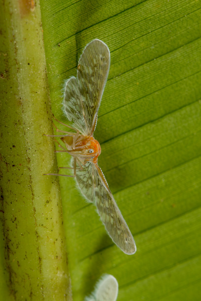 Derbid planthopper (Derbidae). Gareno Amazon, Napo Ecuador