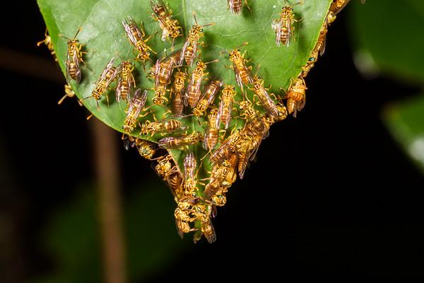 Wasps on leaf. Mirador trail, Shiripuno, Orellana Ecuador