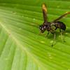 wasp. EO Wilson trail, Shiripuno, Orellana Ecuador