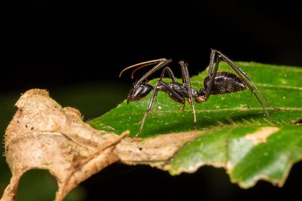 (Formiciidae). EO Wilson trail, Shiripuno, Orellana Ecuador