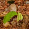 leaf cutter ant, <i> Atta cephalotes</i> (Formicidaae). Jatun Sacha Estacion Biologica, Napo Ecuador
