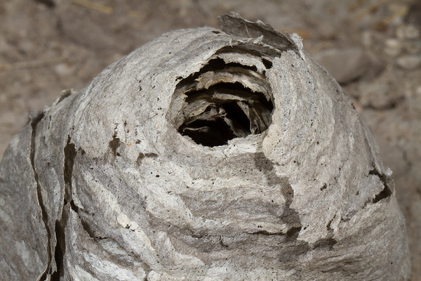 bald-faced hornet nest, <i>Dolichovespula maculata</i> (Vespidae). Avon Pass, Cache Co., Logan, Utah USA