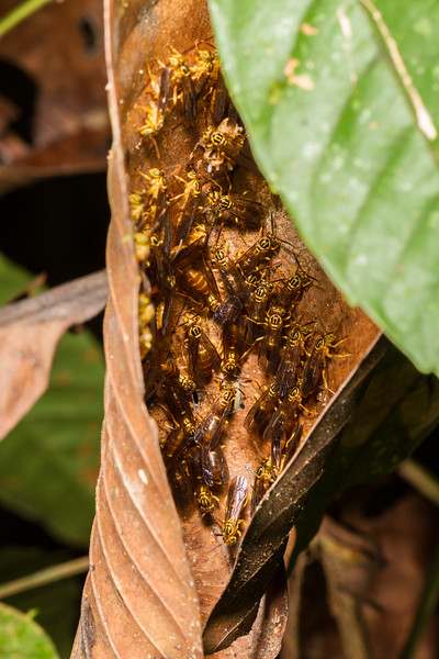 Wasps in curled up leaf nest. Eggs visible in cells. EO Wilson trail, Shiripuno, Orellana Ecuador