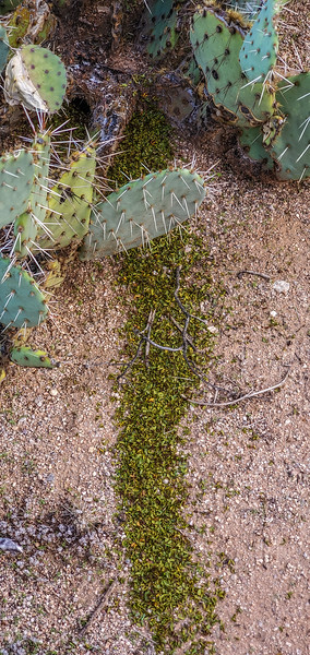 leaf-cutter ants, Acromyrmex versicolor (Formicidae). Suizo Mountains, Pinal County Arizona USA