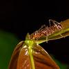 <i>Ectatomma tuberculatum</i> (Formicidae) at <i>Inga</i> sp. extrafloral nectary. unnamed trail, Shiripuno, Orellana Ecuador